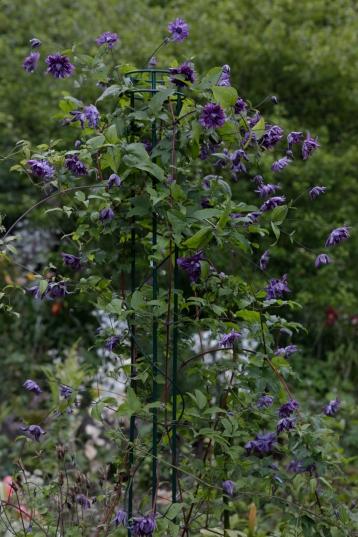 'Purpurea Plena Elegans' är en Viticella-sort med alldels bedårande, ganska små, fyllda, lila blommor. Plåtad på Blomstergården i Uddevalla.blommor