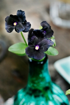 svart viol i vas 300_MG_0042 kopiera