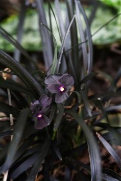 svart viol ma_MG_3557