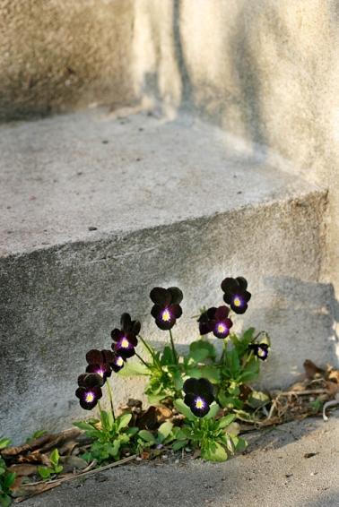 svarta violer vid trIMG_7968