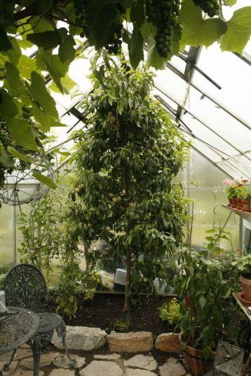 Växthuspersika6508